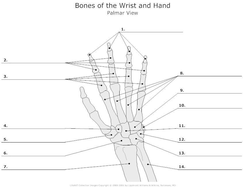 Unlabeled skeleton | skeleton | Pinterest | Skeletons and Anatomy