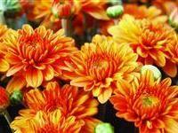 Image Of Chrysanthemum X Morifolium Yohannah Hannah Orange Pp16387 Garden Mum Autumn Garden Perennial Plants