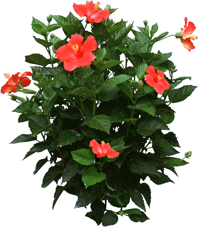 Propagate Hibiscus Plants During The Spring Either By Stem Cuttings