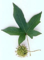 Sweetgum Picture Of Leaf And Fruit Of The Sweet Gum Tree Tree Leaf Identification Leaf Identification Sweet Gum