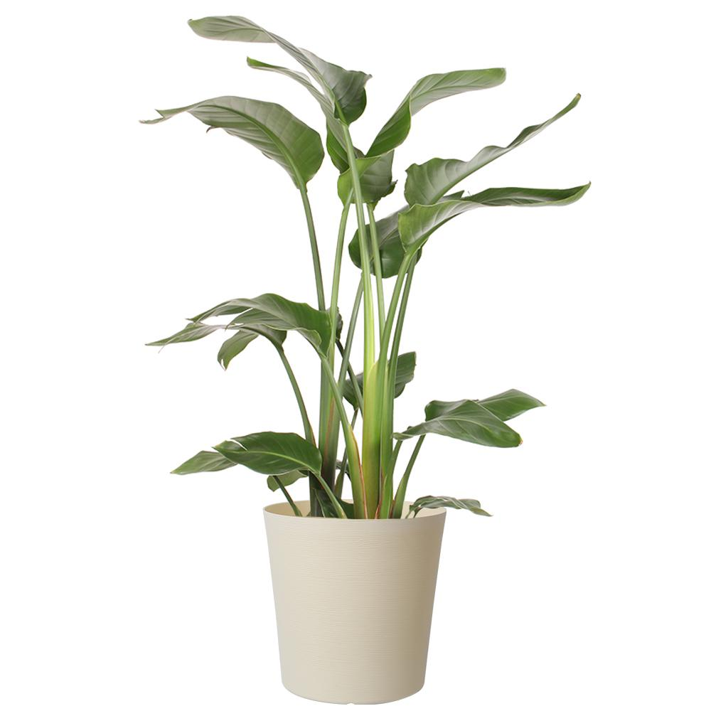Costa Farms 10 In White Bird In Paradise Planter Co 3 Wb11 Parwht The Home Depot In 2020 Household Plants Inside Plants Plants