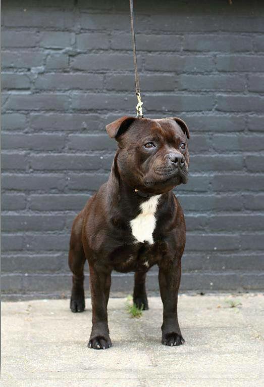Pin By Karissa Weygandt On Staffordshire Bull Terrier Love Pitbull Terrier Bull Terrier Pit Dog