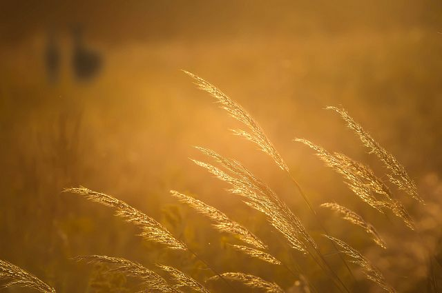 Indiangrass in autumn