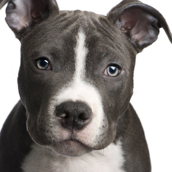 I Want Pitbulls American Pitbull Terrier Pitbull Terrier Bull Terrier Puppy
