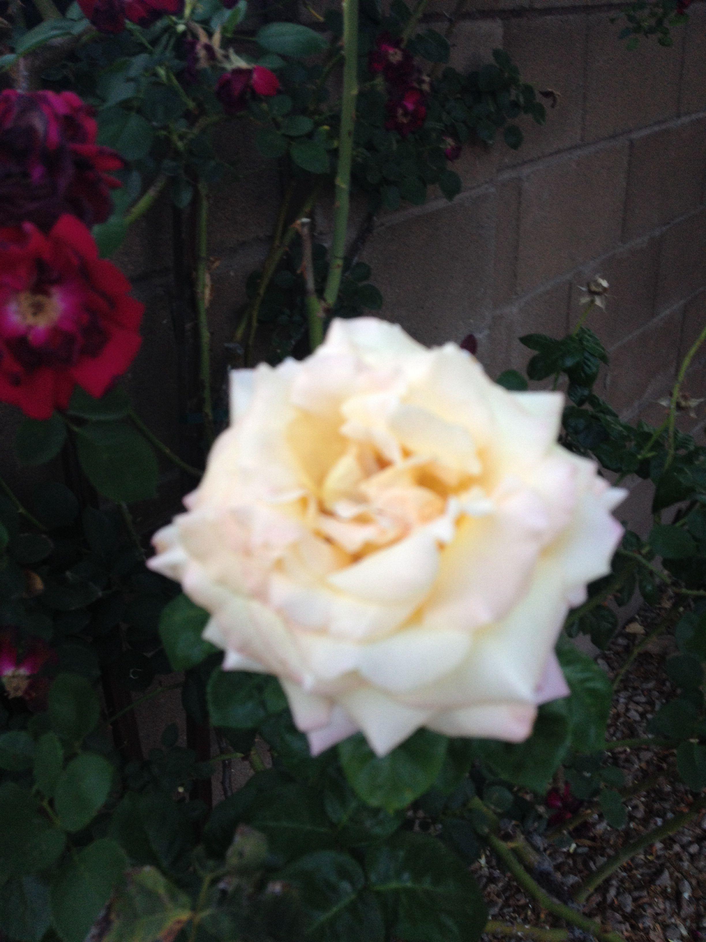 White rrrrrrose