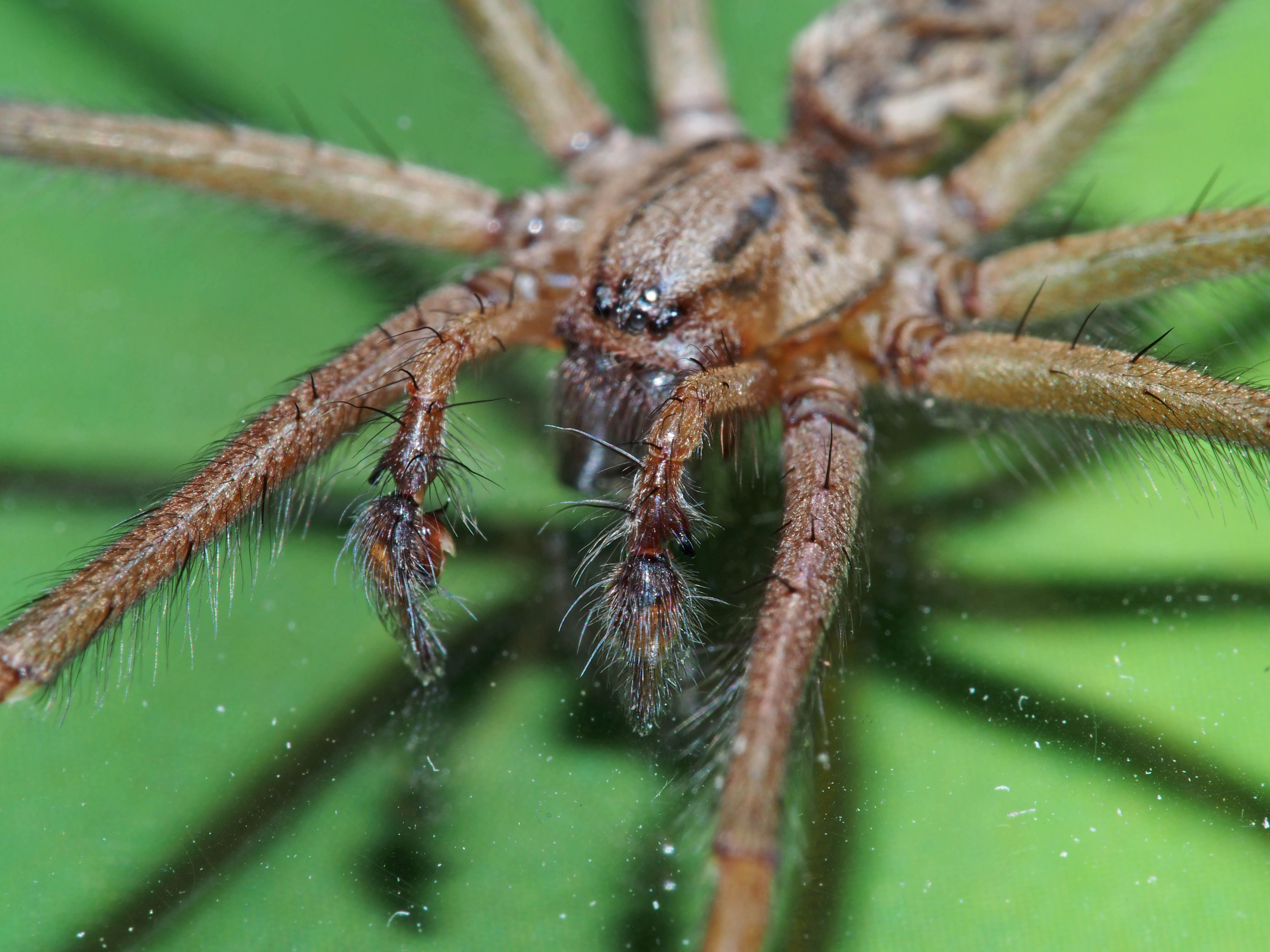 House Spider An Up Close Portrait Of The Head And