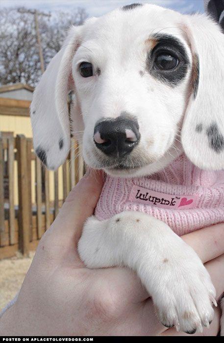 Black And White Piebald Dachshund : black, white, piebald, dachshund, Beautiful, Piebald, Dachshund, Place, Dachshund,, Breed,, Dapple