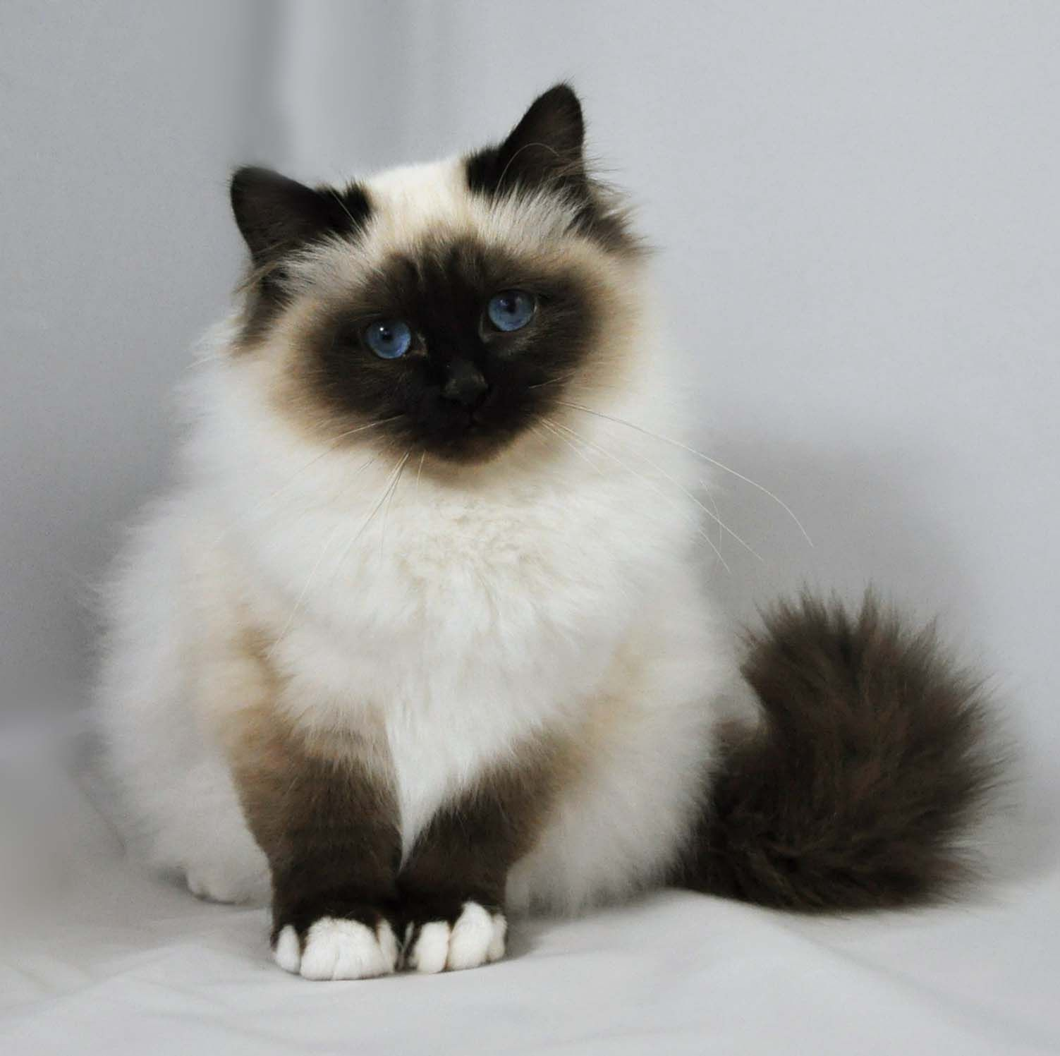 Birman | Kittens For Sale | Felonie Birmans | Birman Cats ...