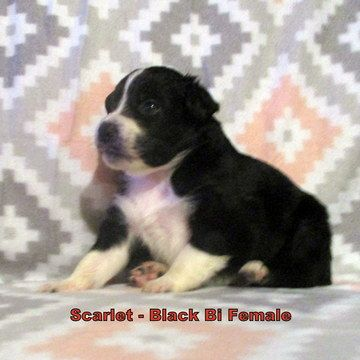 Litter Of 7 Australian Shepherd Puppies For Sale In Brooksville