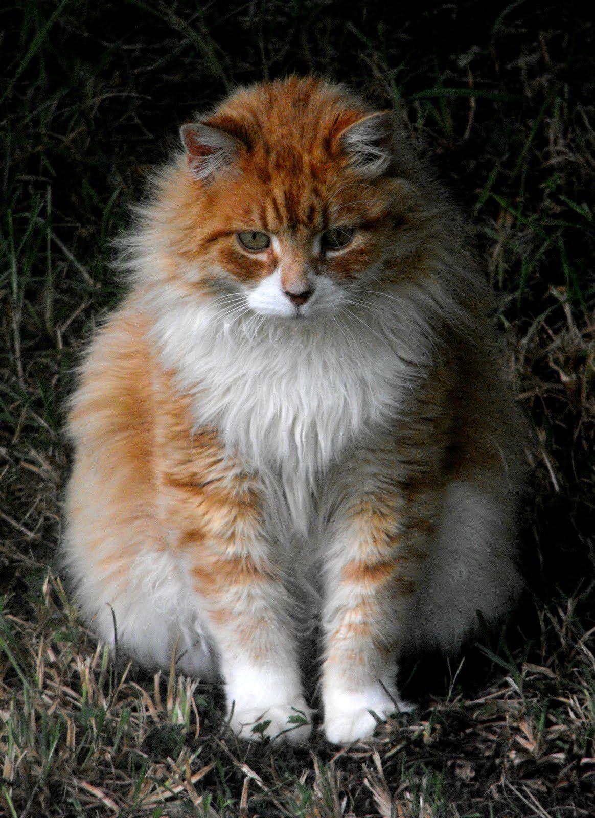Ginger Orange White Long Hair Cat Jpg Jpeg Image 1164 1600 Pixels Scaled 54 Cat Breeds Great Cat Types Of Cats