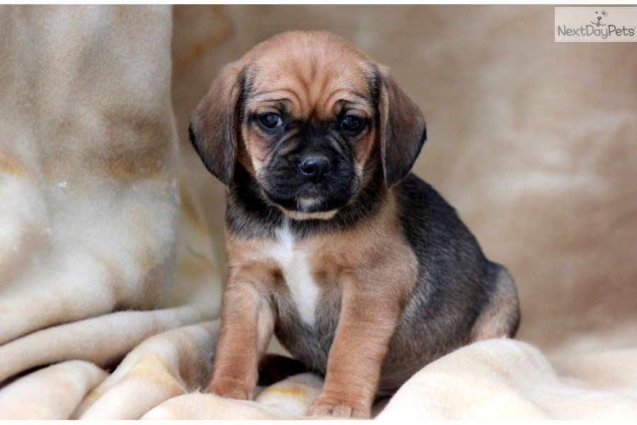 Puggle Puppy Puggle Puppies For Sale Puggle Puppies