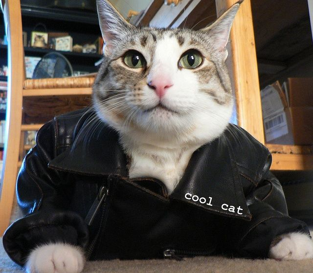 cool cat pecan in his leather jacket. | Cats, Striped cat, Cool cats