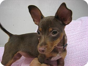 Min Pin Chihuahua Mix Chihuahua Mix Puppies Puppy Pictures
