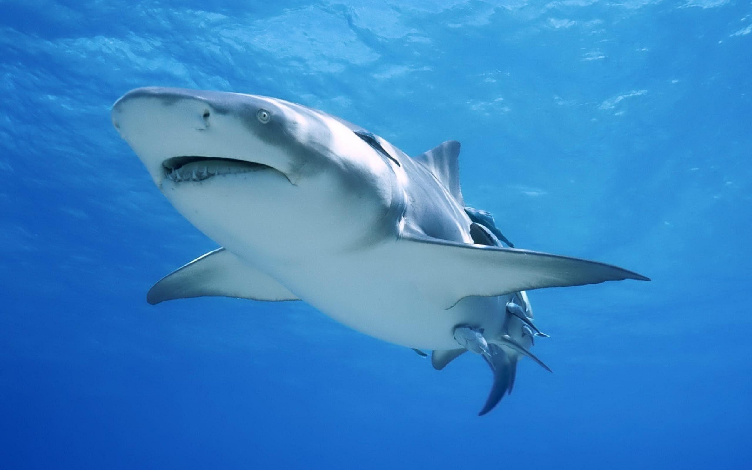 Le Requin Oceanique Animale Photographie Fond D Ecran 2560x1600 Fond D Ecran Telecharger 10wallpaper Com Underwater Animals Animals Animal Photography