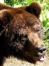 A TANA FOR BRUNO, the bear of deported Carpathians in Trentino