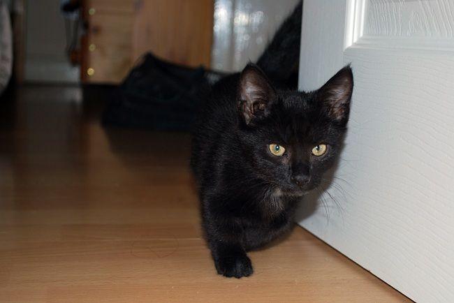 Munchkin Cat Black Munchkin Cat Cats Munchkin Kitten