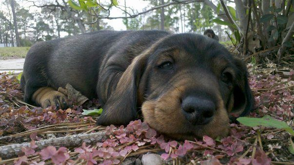 One of my friend Sandy's Wirehaired Dachshund puppies.