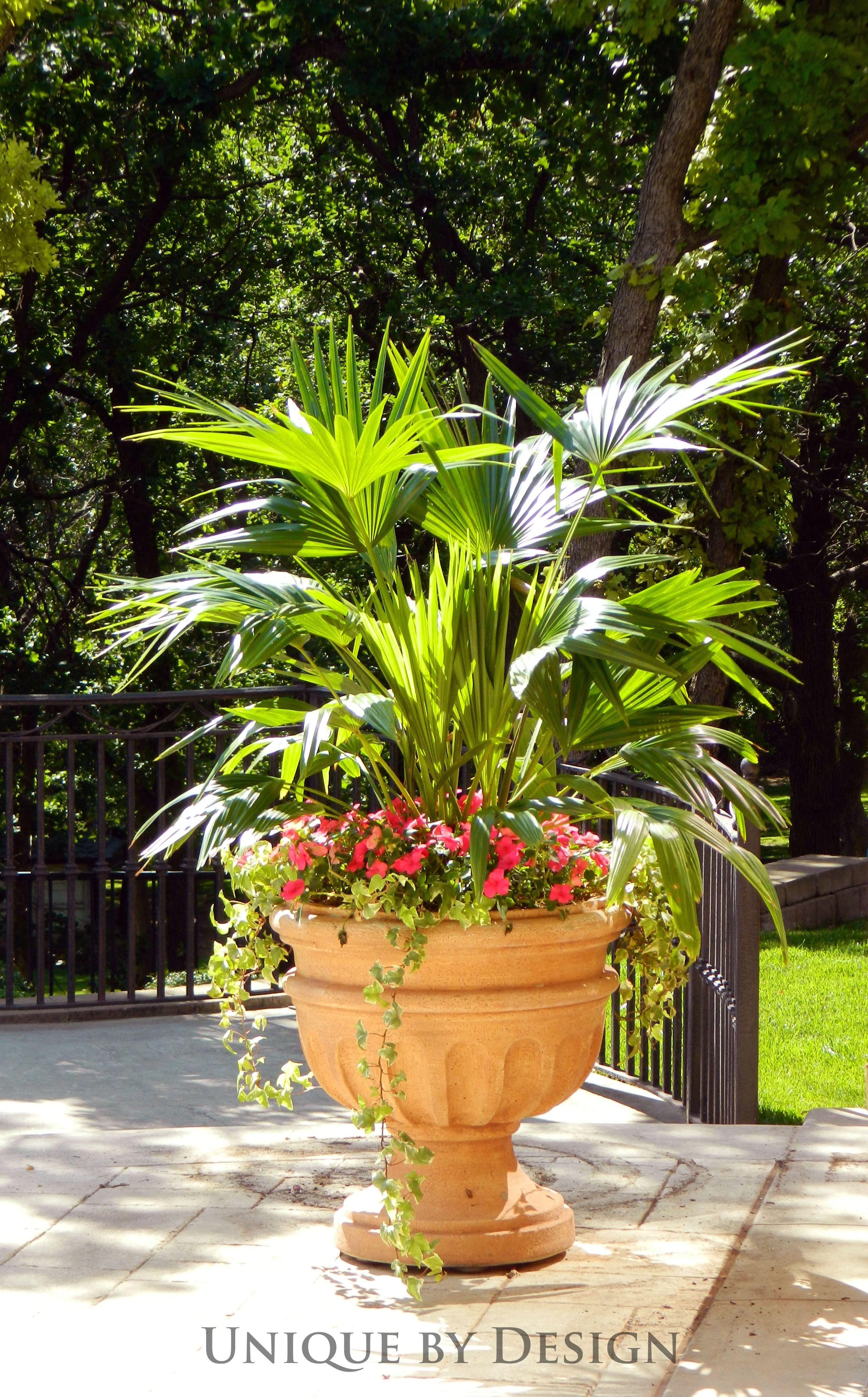 Terracotta Urn...filled with a Chinese Fan Palm, Impatiens