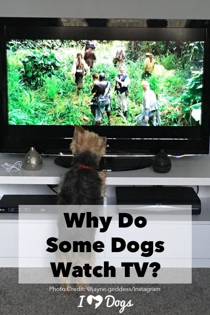 Why Do Some Dogs Watch TV? Dog psychology, Dog boarding