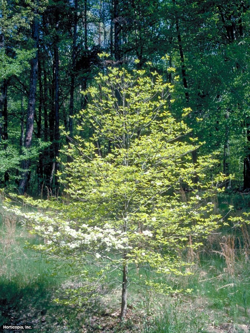 These lovely dogwood tree cultivars offer fourseason
