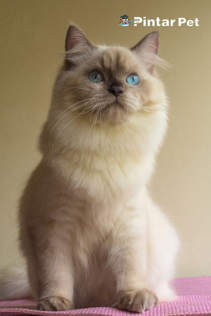Begini Cara Merawat Kucing Himalaya Dengan Benar Agar Umur Panjang Di 2021 Kucing Himalaya Kucing Himalaya
