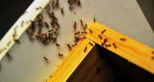 Homemade Hardwood Floor Cleaner Kill Ants Ants Kitchen Ants
