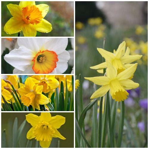 Umbi Daffodil Mixed Http Bibitbunga Com Umbi Daffodil Mixed Tanaman Bunga Kebun