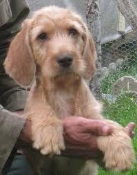Résultat De Recherche D Images Pour Bebe Basset Fauve De Bretagne Honden Basset