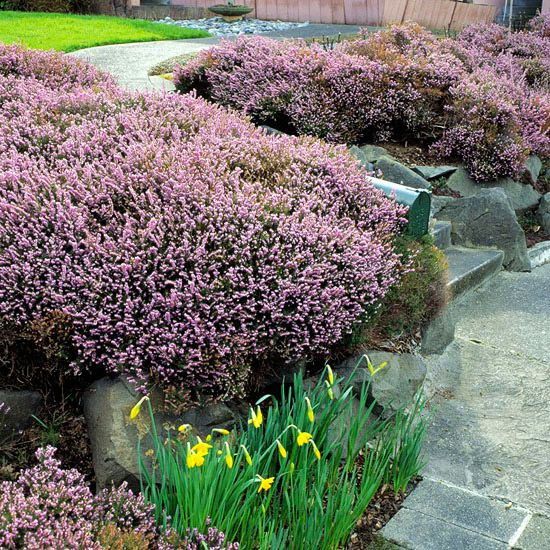 How To Grow Heathers And Heaths Flowering Shrubs Front Yard Landscaping Simple Garden Shrubs