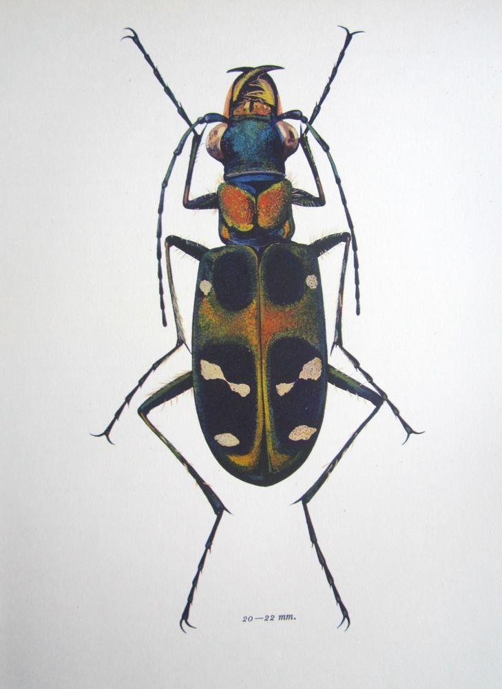 Beetle Tiger Beetle Vintage Beetle Print S Midcentury Insect Beetle Illustration Vintage Science Biology Print To Frame   Via Etsy