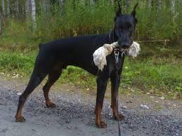 Resultado De Imagen De Doberman Dog Pictures Dogs Pets Dogs Breeds