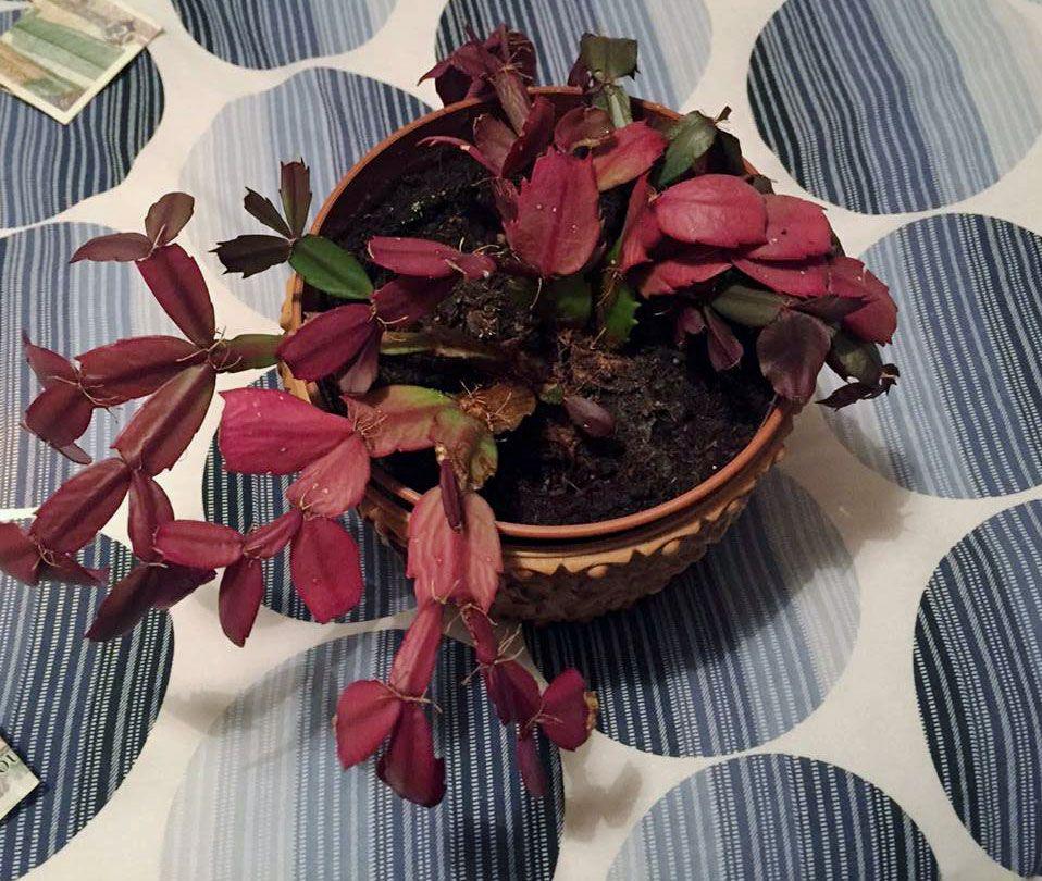 Christmas Cactus Leaves Turning Purple