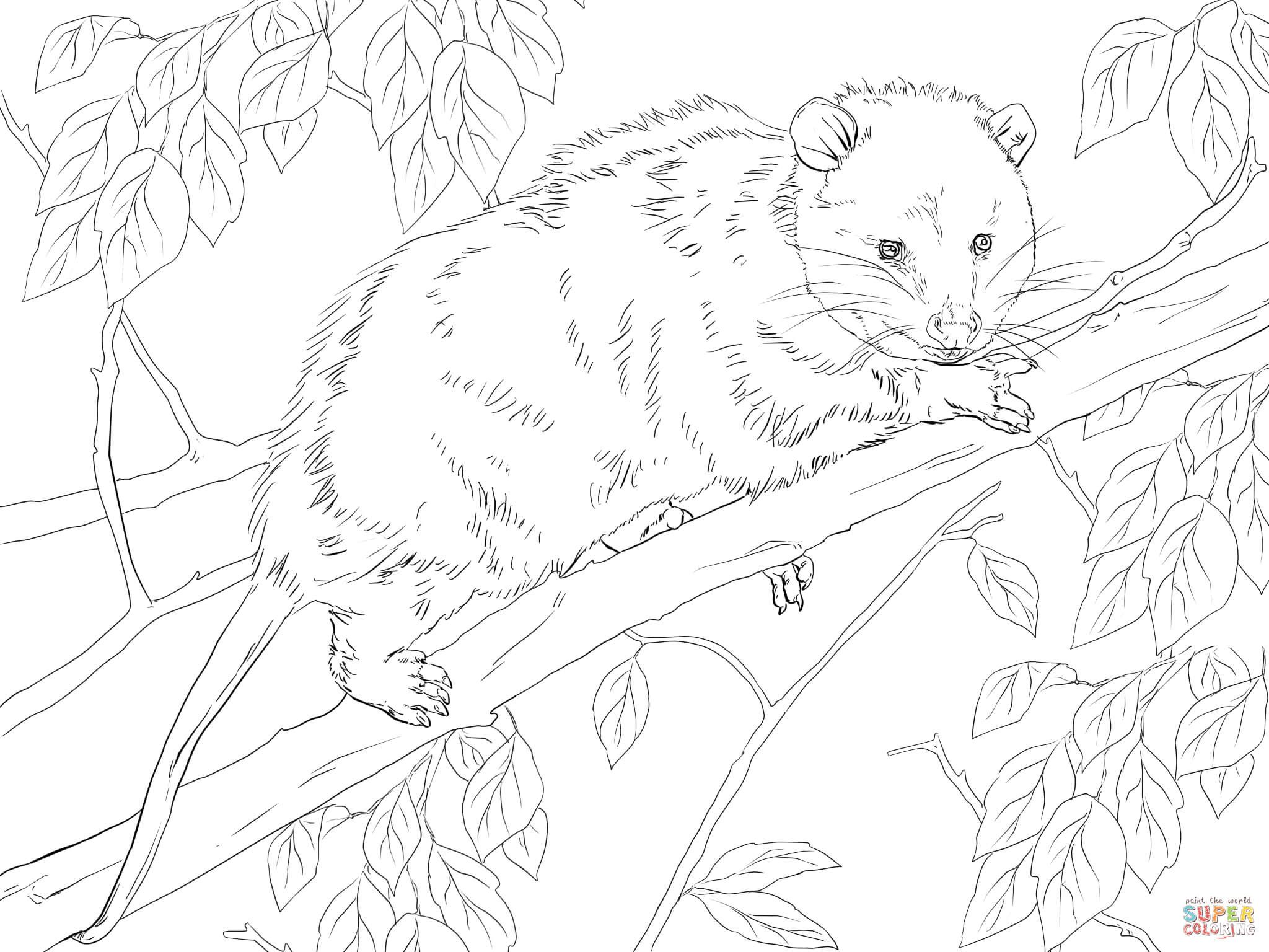 Virginia Opossum On A Tree Super Coloring Tree Coloring Page