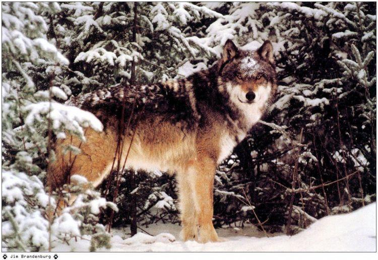 Epingle Par Yvette De Bruyne Sur Dans La Gueule Du Loup In The Mouth Of The Wolf Loup Chien Loup Animaux