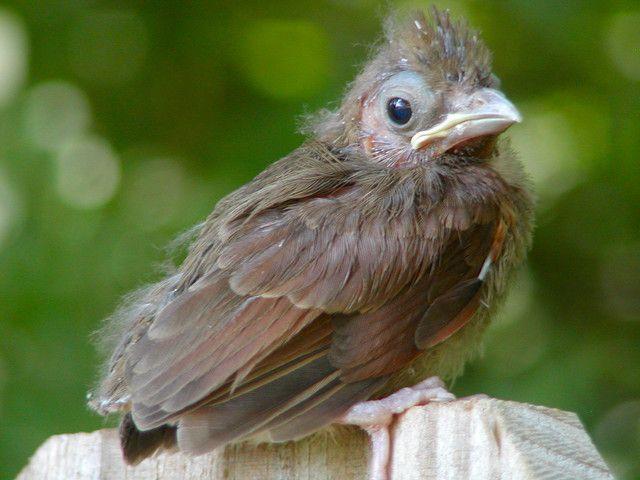 Baby Cardinal   Baby cardinals, Animals, Nature