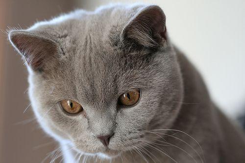 Elmo Our British Shorthair Cat Pets Cats British Blue Cat Cute Cats