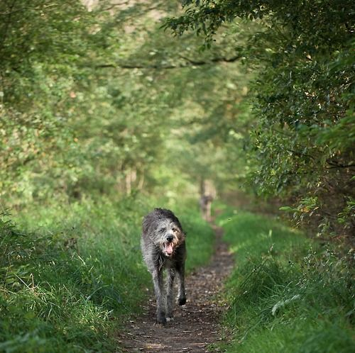 Wolfhound On A Forest Path Of The Corgi And The Irish Wolfhound