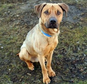The Misconceptions About The German Shepherd Pitbull Mix