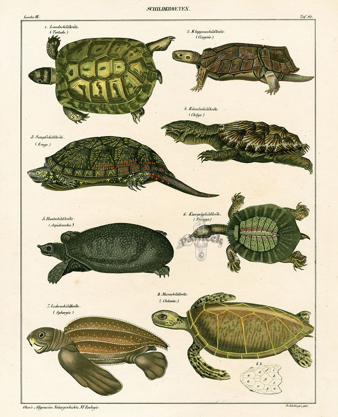 Turtle Shell Anatomy Diagram Leagoo Lead 6 Battery Oken Natural History Prints 1833 Sea Land Turtles