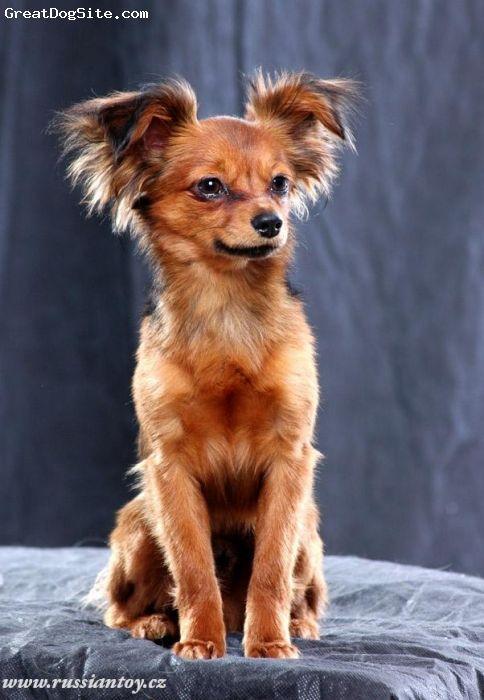 Russian Toy Terrier Russkiy Toy Russkij Toj Puppy Dog
