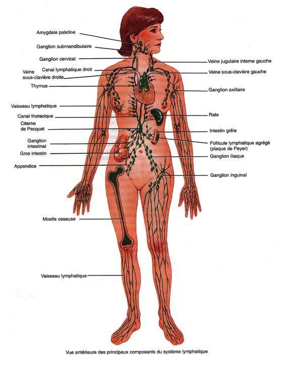 Le système lymphatique | Le corps humain | Pinterest | Cellulite