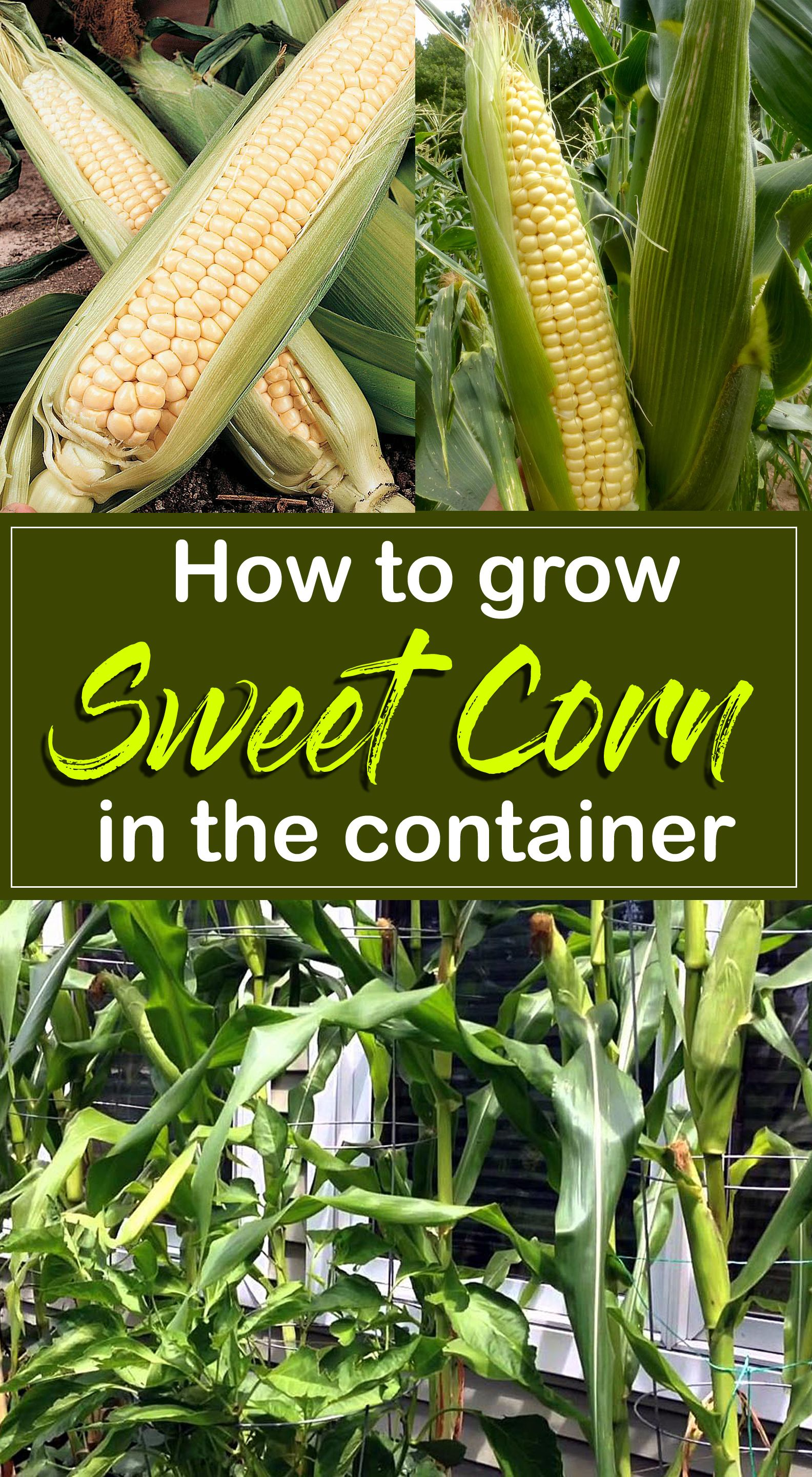 How to grow Sweet Corn in the container | sweet corn growing in the container - Nature Bring