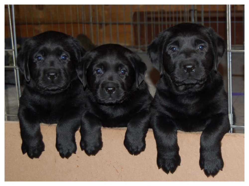 Puppies Thimble Labrador Retrievers Labrador Retriever Black Labrador Retriever Lab Puppies