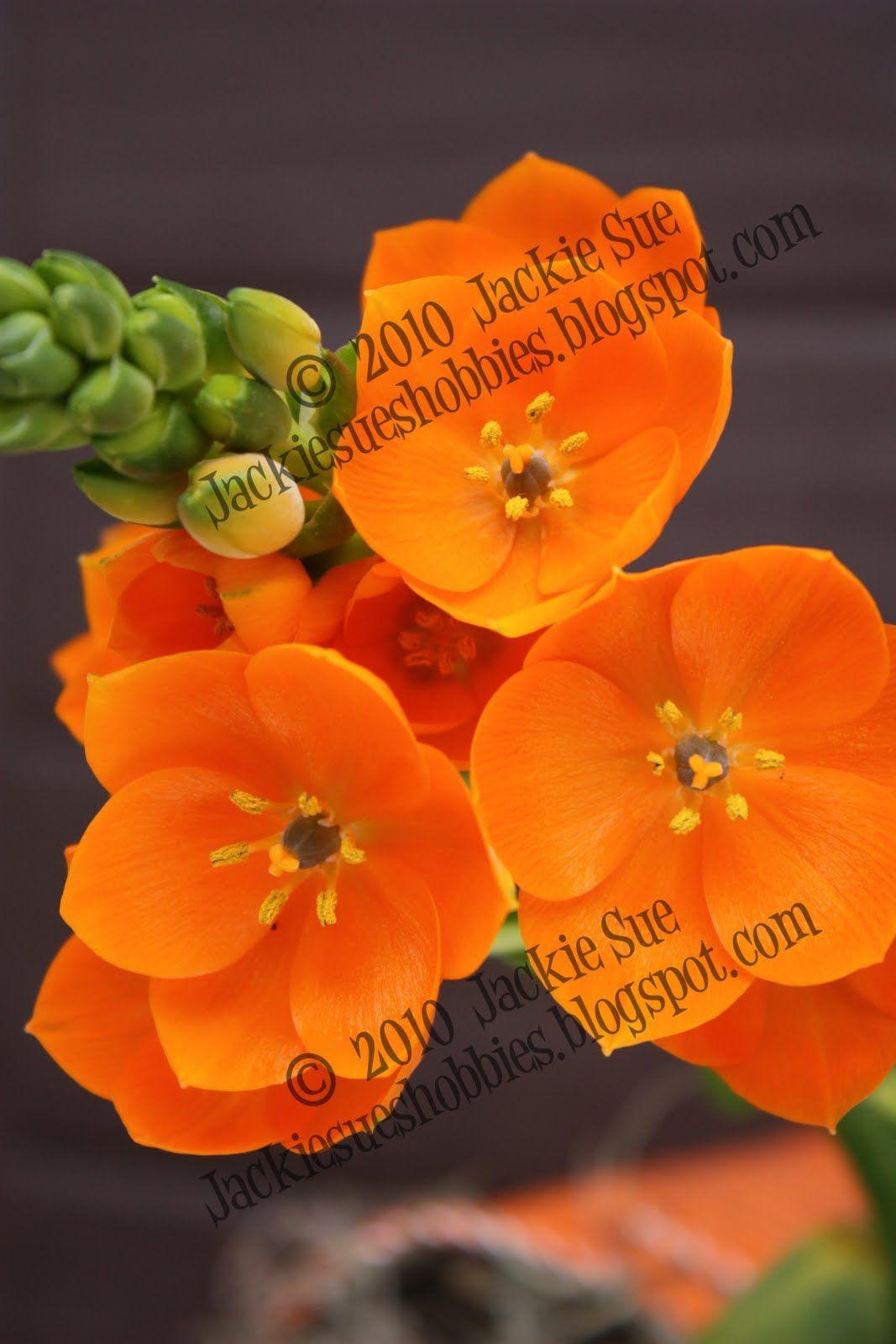 star of bethlehem flower orange = Reconciliation