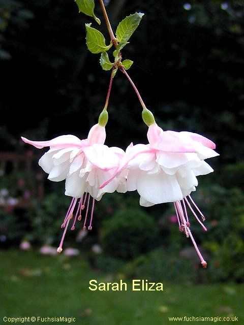 Fuchsia Sarah Eliza With Images Fuchsia Flowers Amazing