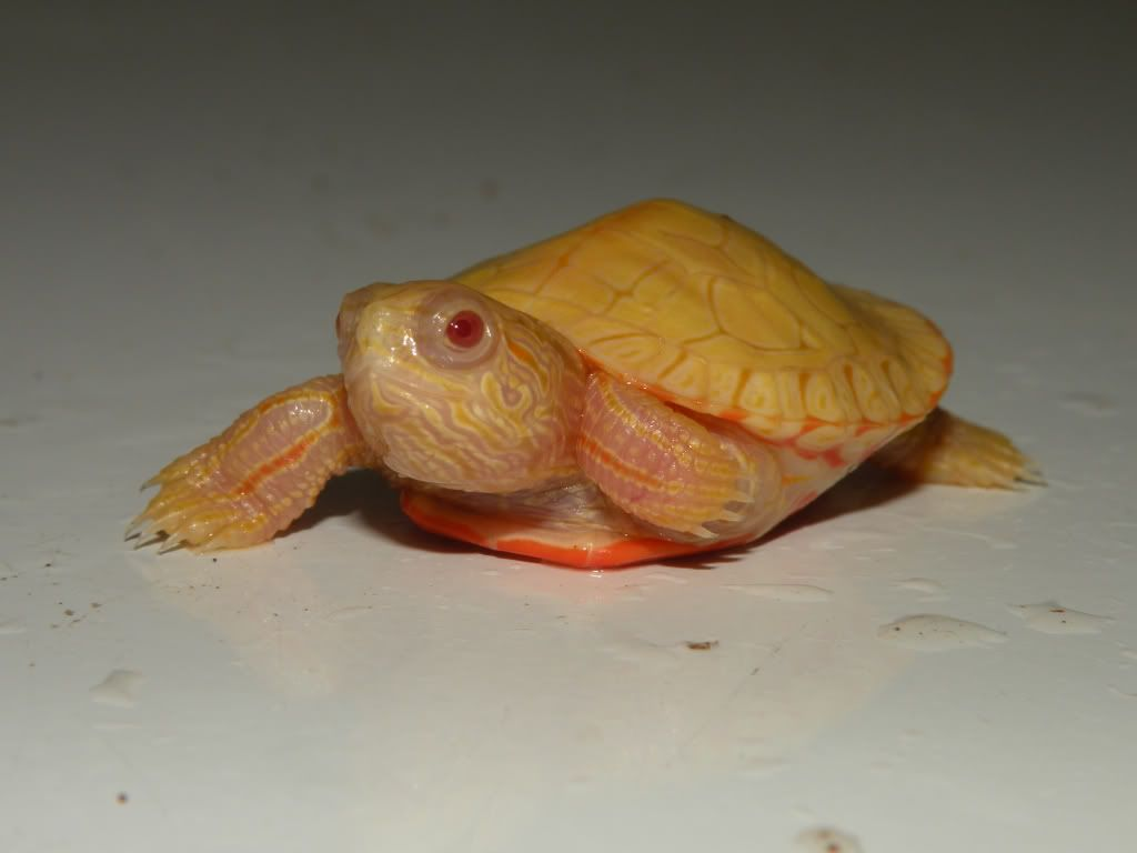 An albino western pond turtle. What is really neat about this image is that you can  actually see the patterns on it's skin that are sometimes hard to see in other turtles. The shell pattern is even more distinguished.