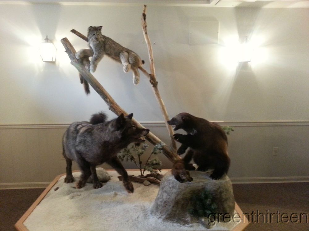 pro taxidermy winter scene canadian deathmatch timber wolf