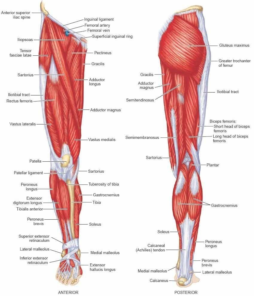 Lower Limb Bones Muscles Joints Nerves Anatomy Leg Muscles