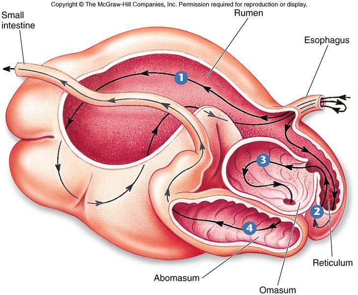 Ruminant Digestive System Ag Ed Pinterest Veterinary Medicine