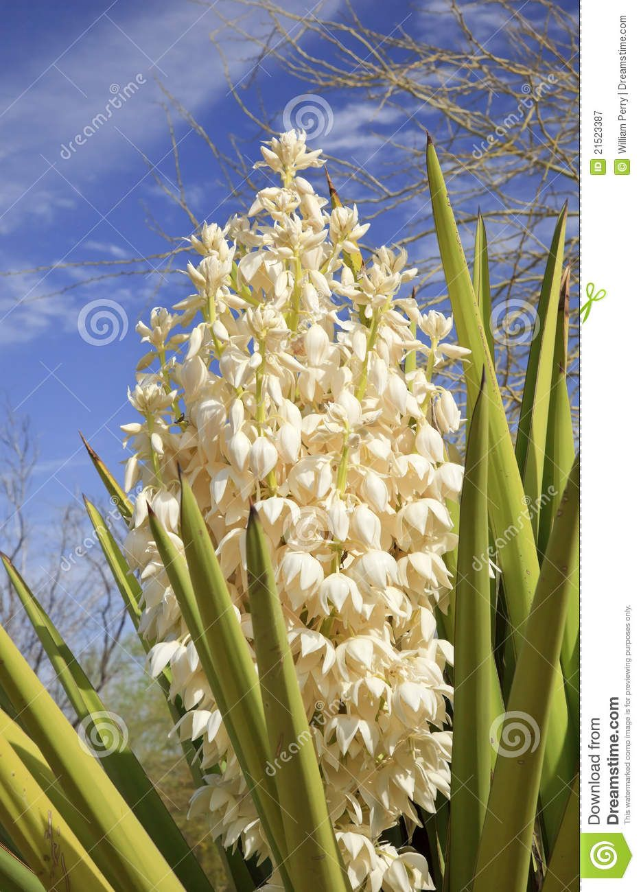 Yucca Plant With White Flowers White Yucca Cactus Flowers Blossums